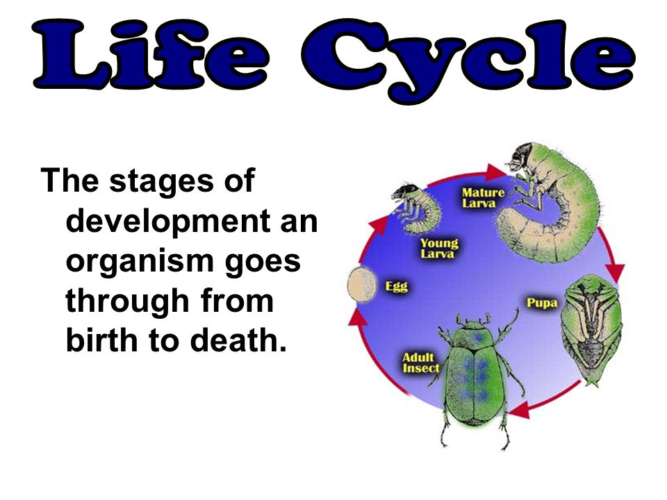 Life Cycle The stages of development an organism goes through from birth to death.