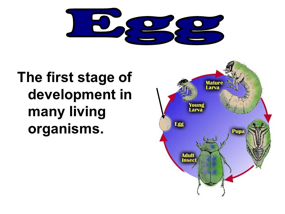 Egg The first stage of development in many living organisms.