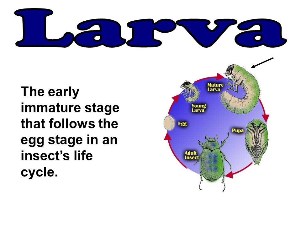 Larva The early immature stage that follows the egg stage in an insect's life cycle.