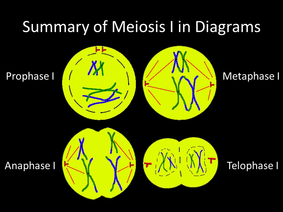 Summary of Meiosis I in Diagrams