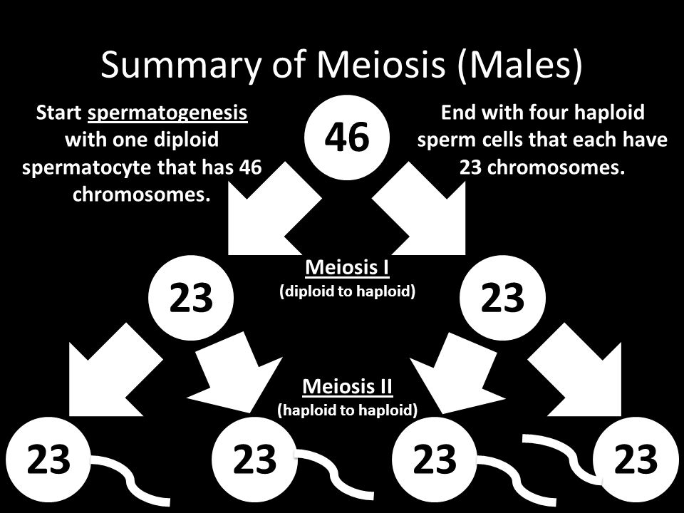 Summary of Meiosis (Males)