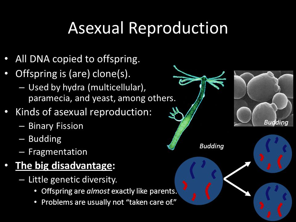 Asexual Reproduction All DNA copied to offspring.