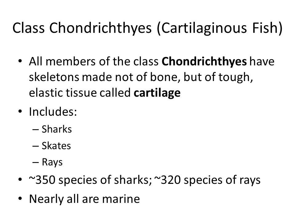 Class Chondrichthyes (Cartilaginous Fish)
