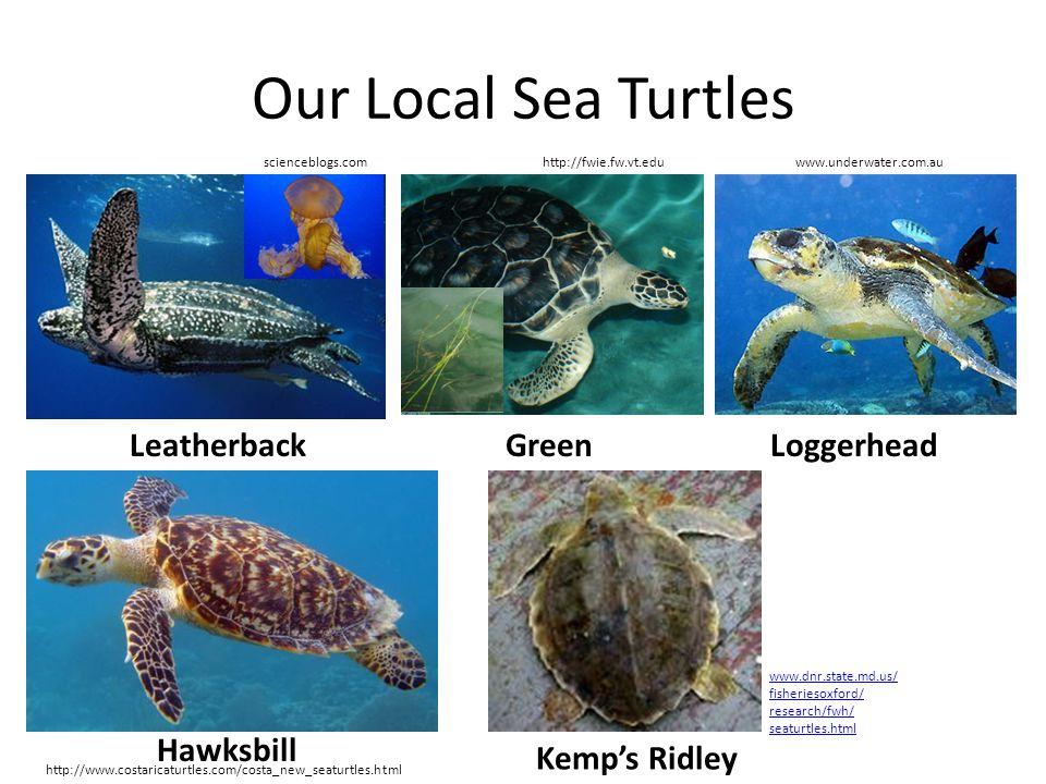 Our Local Sea Turtles Leatherback Green Loggerhead Hawksbill