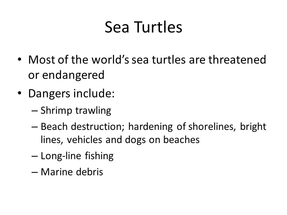 Sea Turtles Most of the world's sea turtles are threatened or endangered. Dangers include: Shrimp trawling.