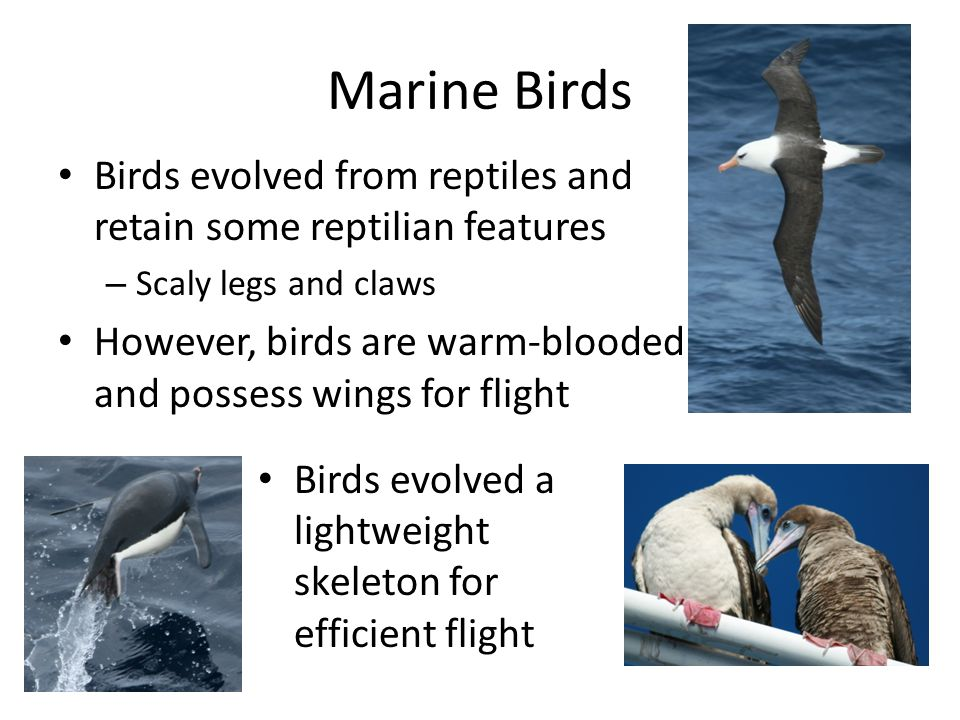Marine Birds Birds evolved from reptiles and retain some reptilian features. Scaly legs and claws.