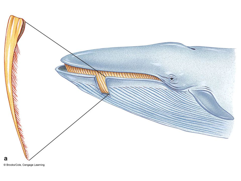 Baleen whales