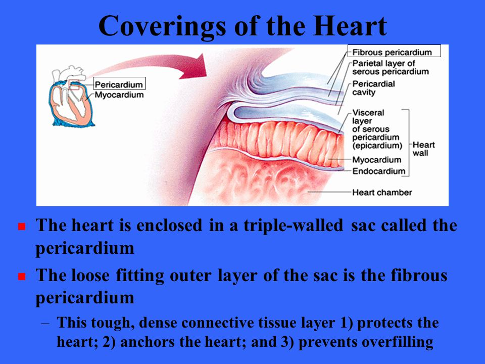 Coverings of the Heart The heart is enclosed in a triple-walled sac called the pericardium.