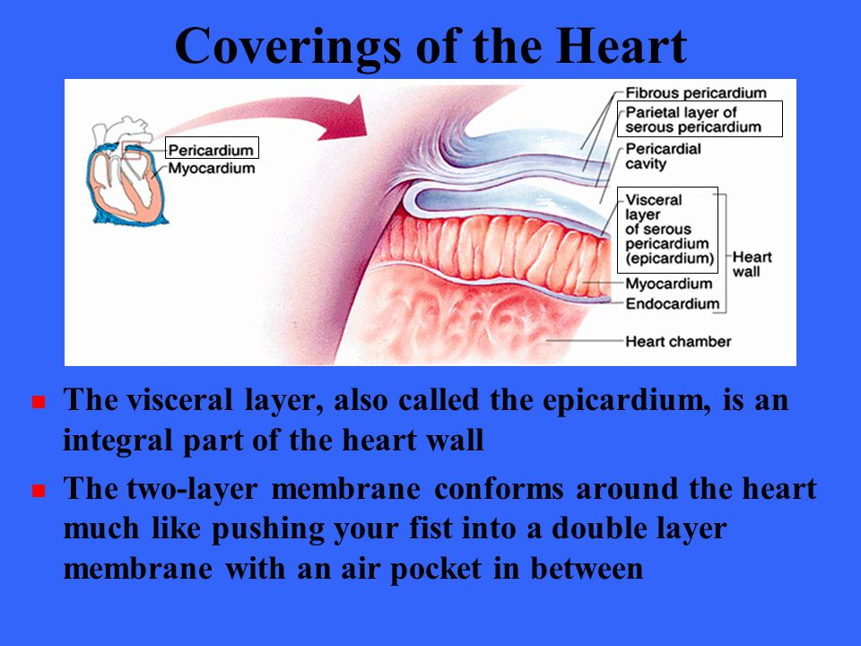 Coverings of the Heart The visceral layer, also called the epicardium, is an integral part of the heart wall.