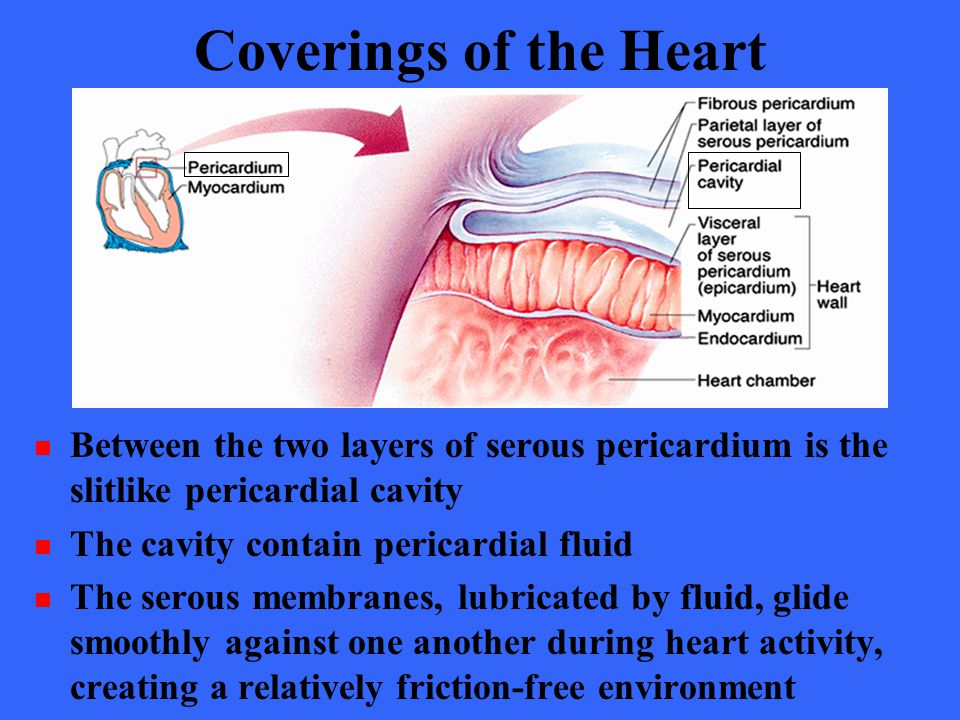 Coverings of the Heart Between the two layers of serous pericardium is the slitlike pericardial cavity.