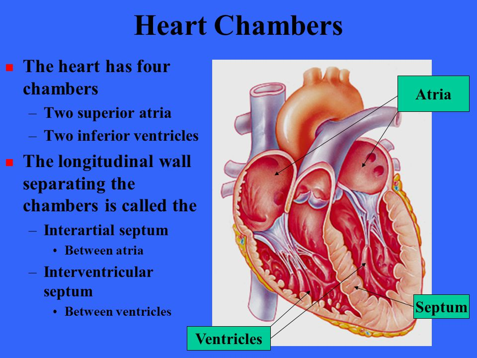 Heart Chambers The heart has four chambers