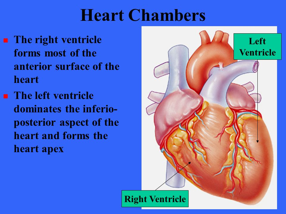 Heart Chambers The right ventricle forms most of the anterior surface of the heart.