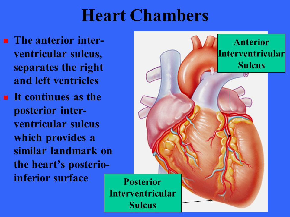 Heart Chambers The anterior inter- ventricular sulcus, separates the right and left ventricles.