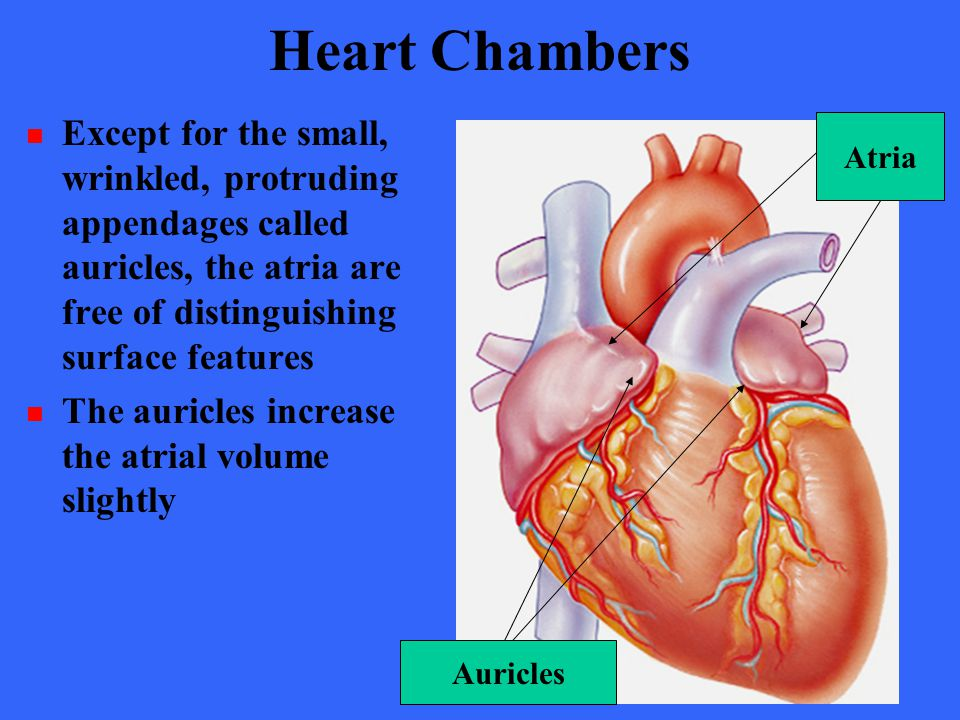 Heart Chambers Except for the small, wrinkled, protruding appendages called auricles, the atria are free of distinguishing surface features.