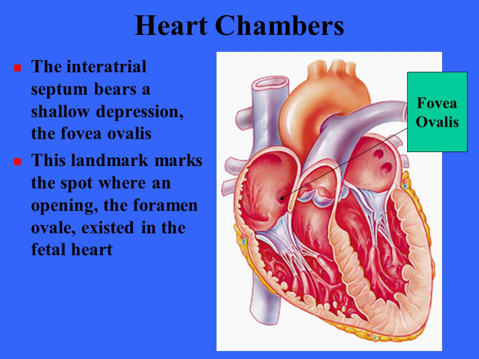 Heart Chambers The interatrial septum bears a shallow depression, the fovea ovalis.
