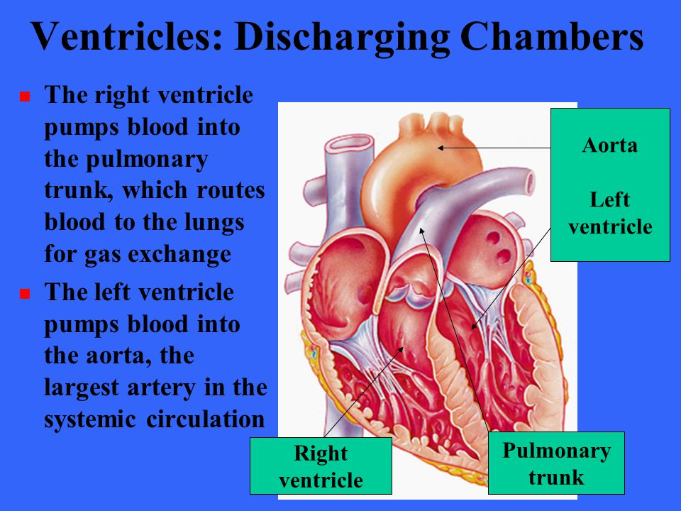 Ventricles: Discharging Chambers