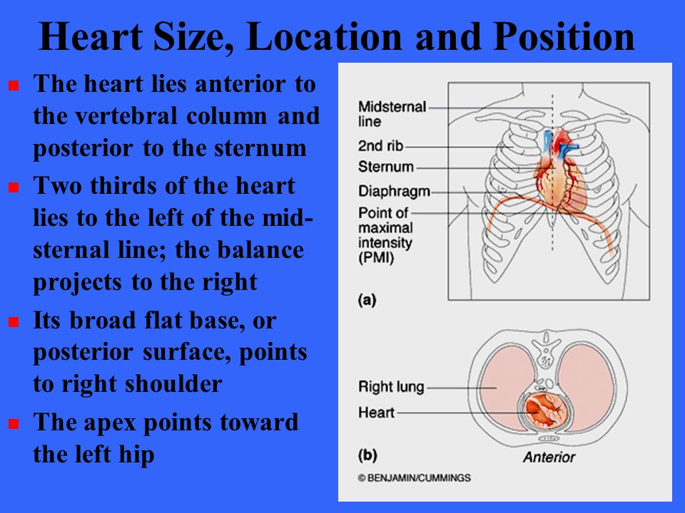 Heart Size, Location and Position