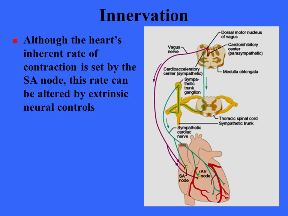 Innervation Although the heart's inherent rate of contraction is set by the SA node, this rate can be altered by extrinsic neural controls.