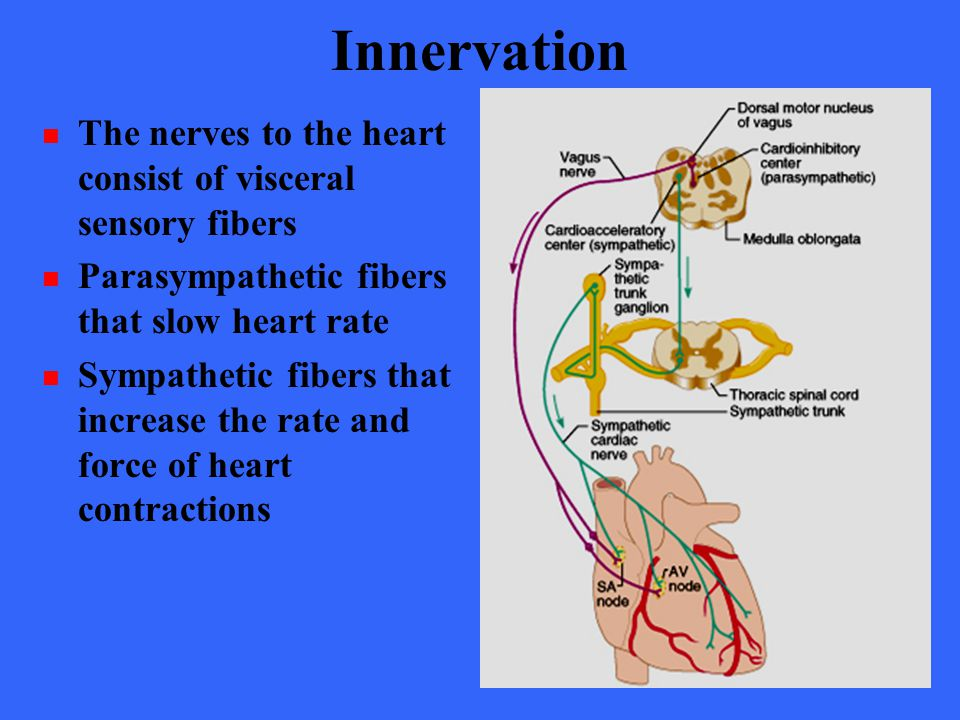 Innervation The nerves to the heart consist of visceral sensory fibers