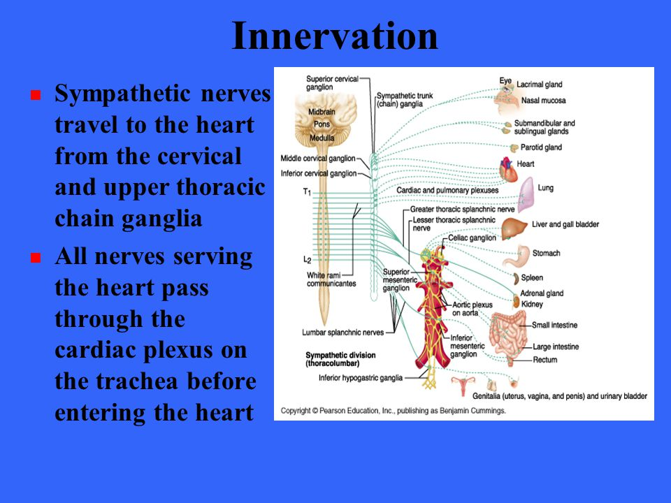 Innervation Sympathetic nerves travel to the heart from the cervical and upper thoracic chain ganglia.