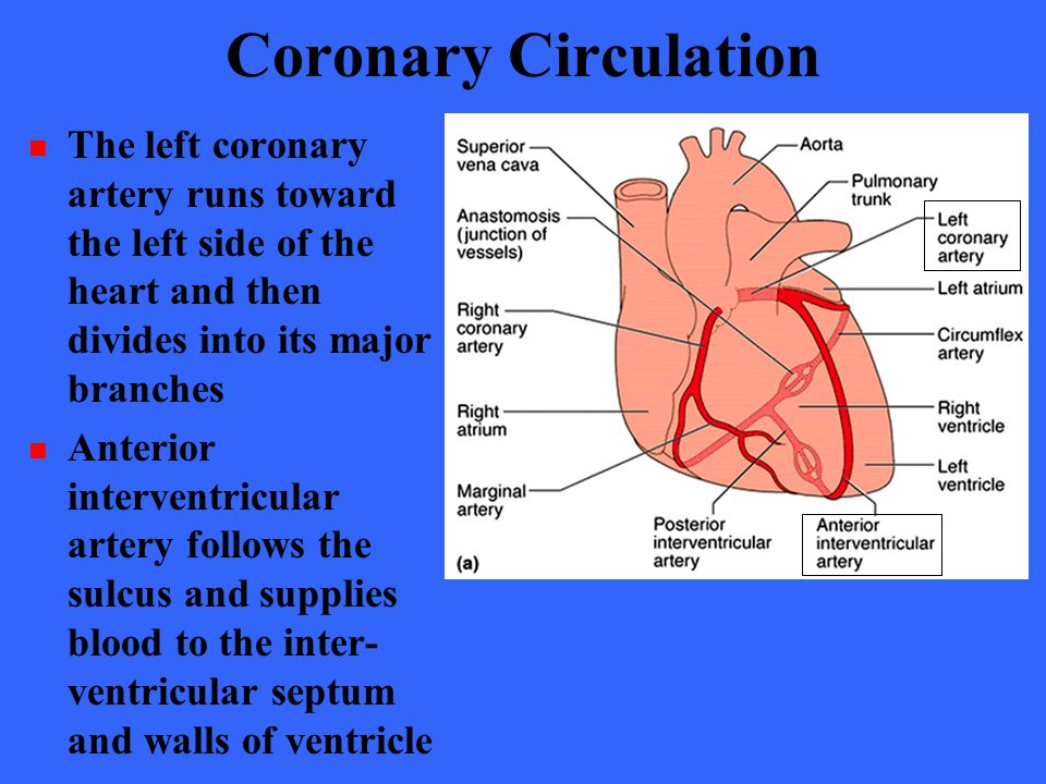 Coronary Circulation The left coronary artery runs toward the left side of the heart and then divides into its major branches.