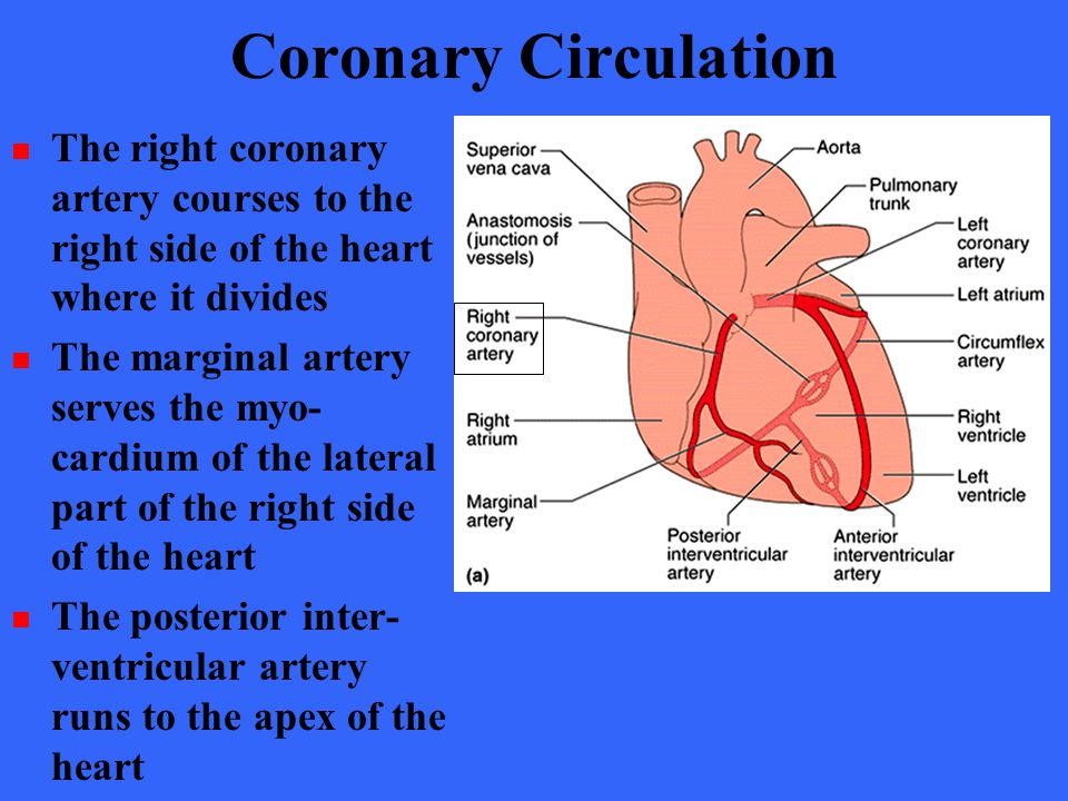 Coronary Circulation The right coronary artery courses to the right side of the heart where it divides.