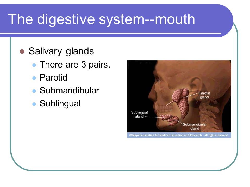 The digestive system--mouth