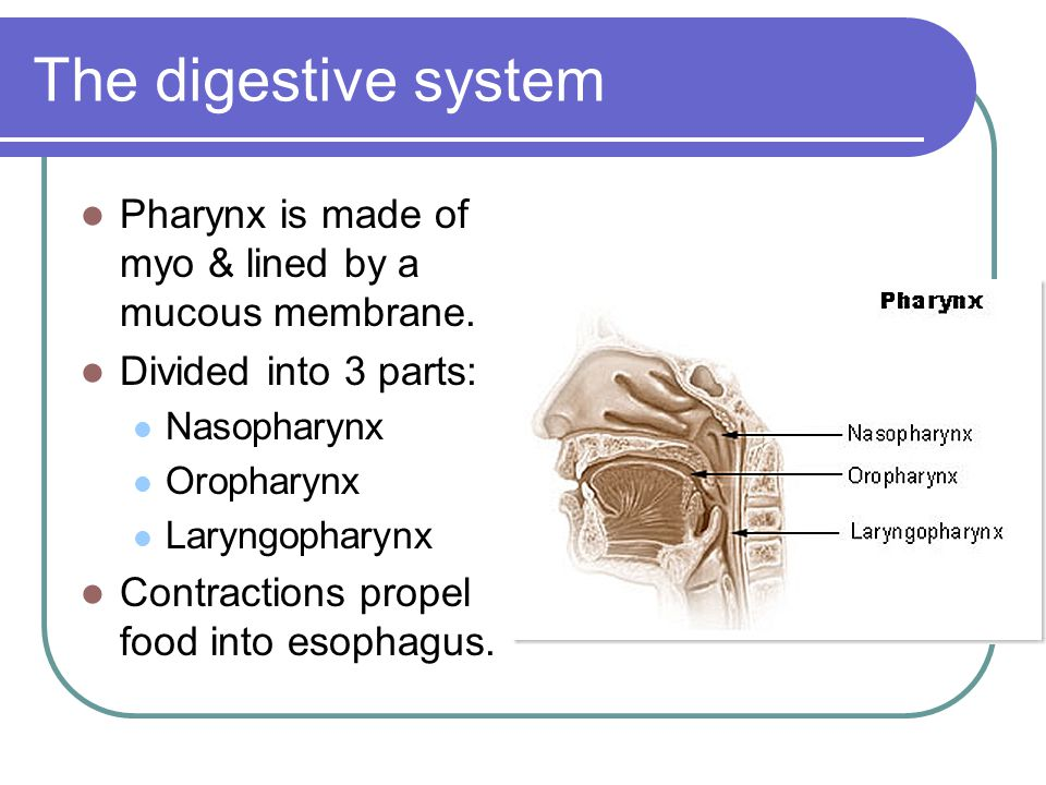 The digestive system Pharynx is made of myo & lined by a mucous membrane. Divided into 3 parts: Nasopharynx.