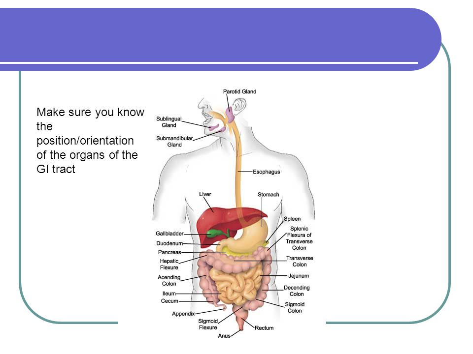 Make sure you know the position/orientation of the organs of the GI tract