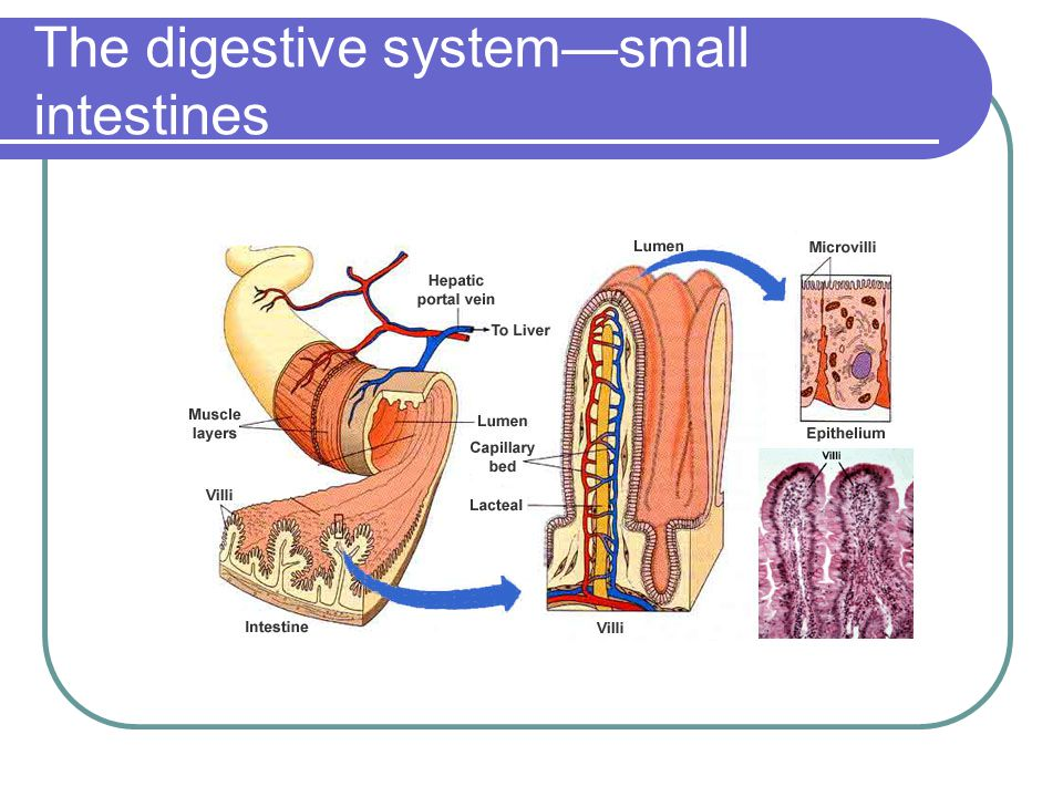 The digestive system—small intestines