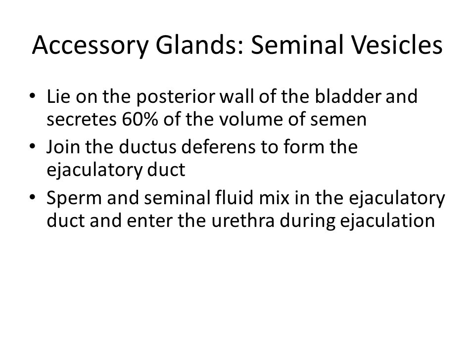 Accessory Glands: Seminal Vesicles