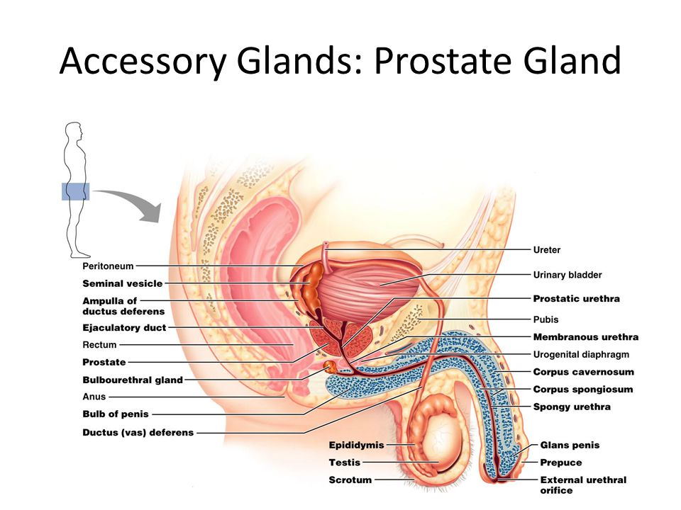 Accessory Glands: Prostate Gland