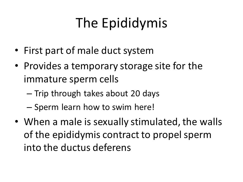 The Epididymis First part of male duct system