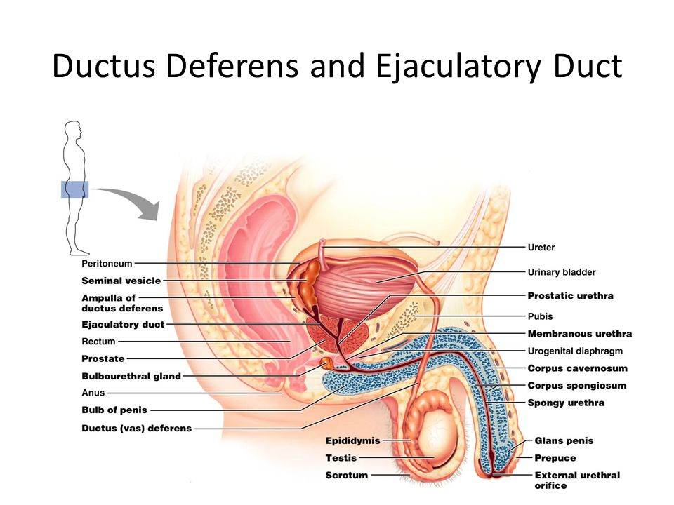 Ductus Deferens and Ejaculatory Duct