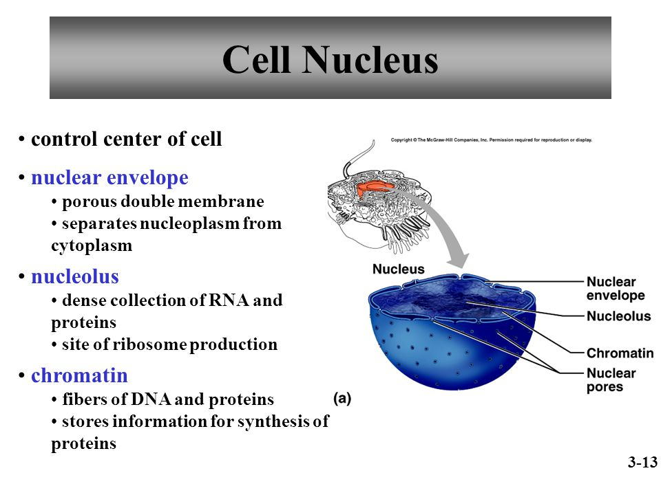 Cell Nucleus control center of cell nuclear envelope nucleolus