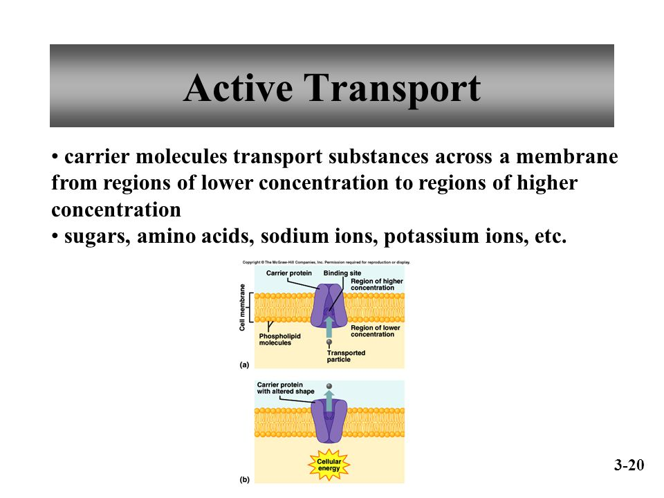 Active Transport carrier molecules transport substances across a membrane from regions of lower concentration to regions of higher concentration.