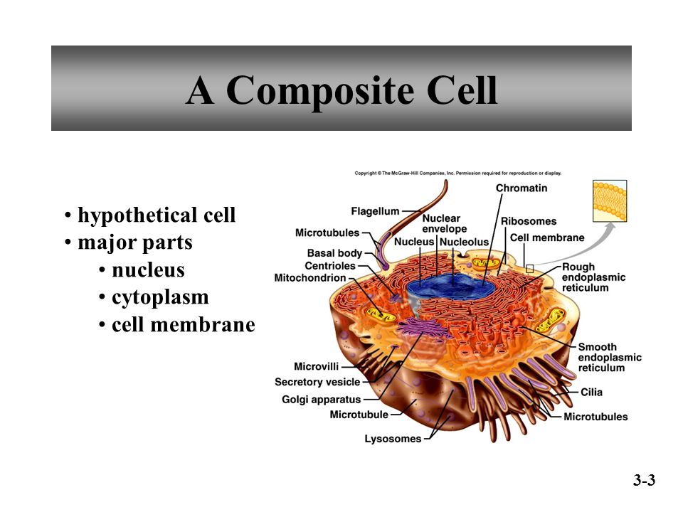A Composite Cell hypothetical cell major parts nucleus cytoplasm