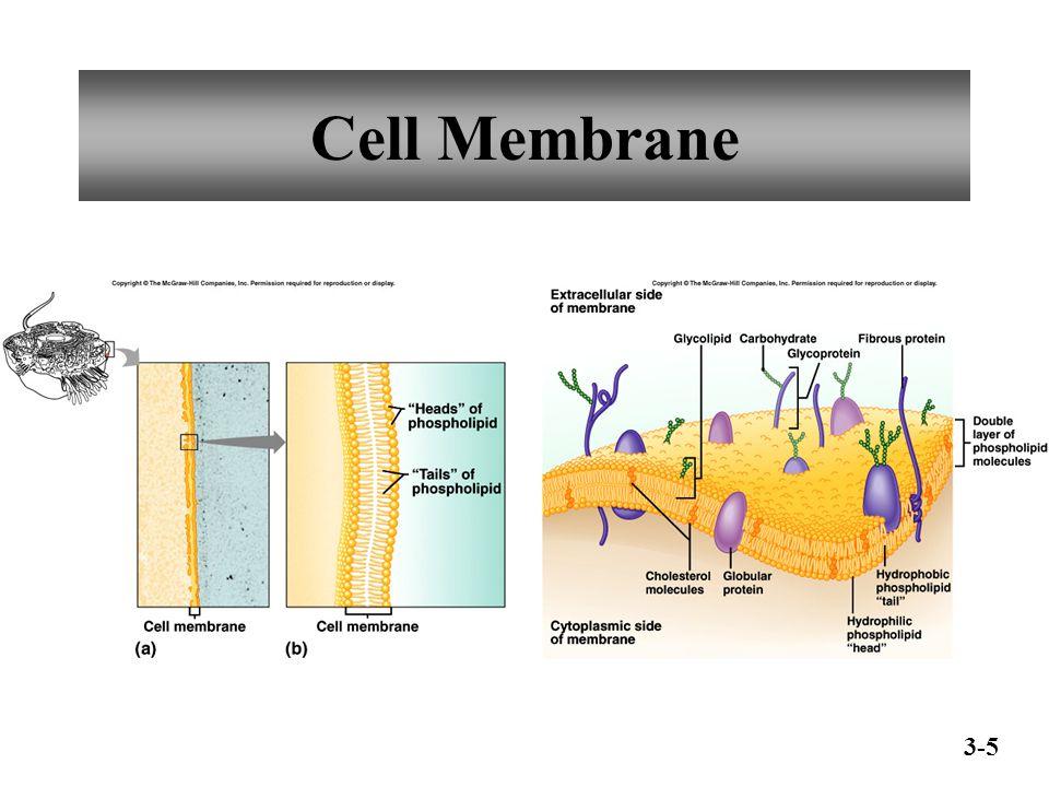 Cell Membrane 3-5