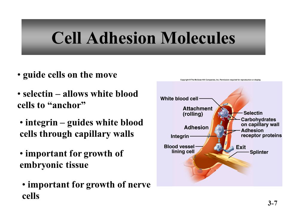 Cell Adhesion Molecules