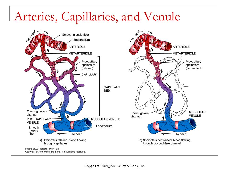 Arteries, Capillaries, and Venule