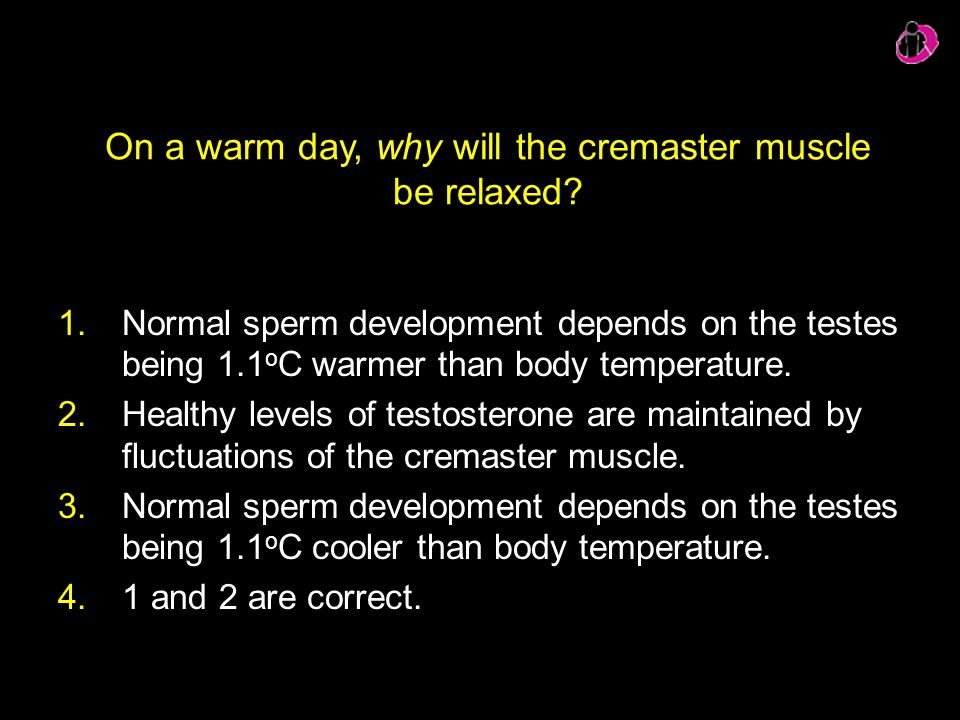 On a warm day, why will the cremaster muscle be relaxed