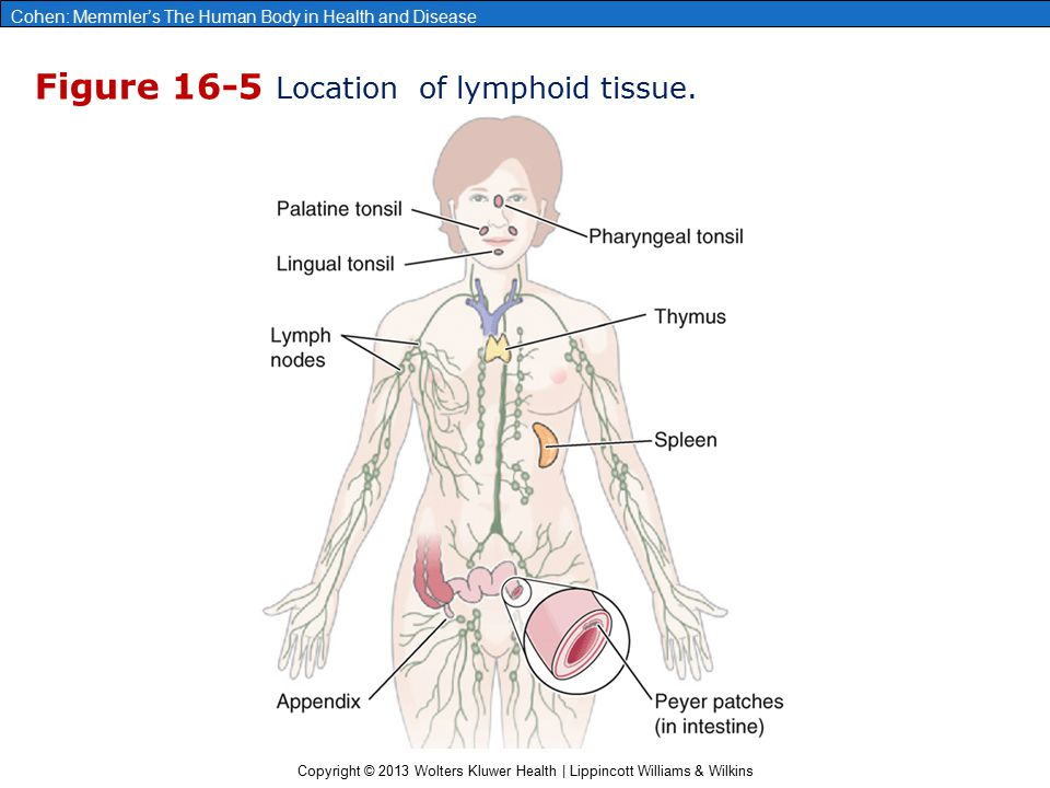 Figure 16-5 Location of lymphoid tissue.