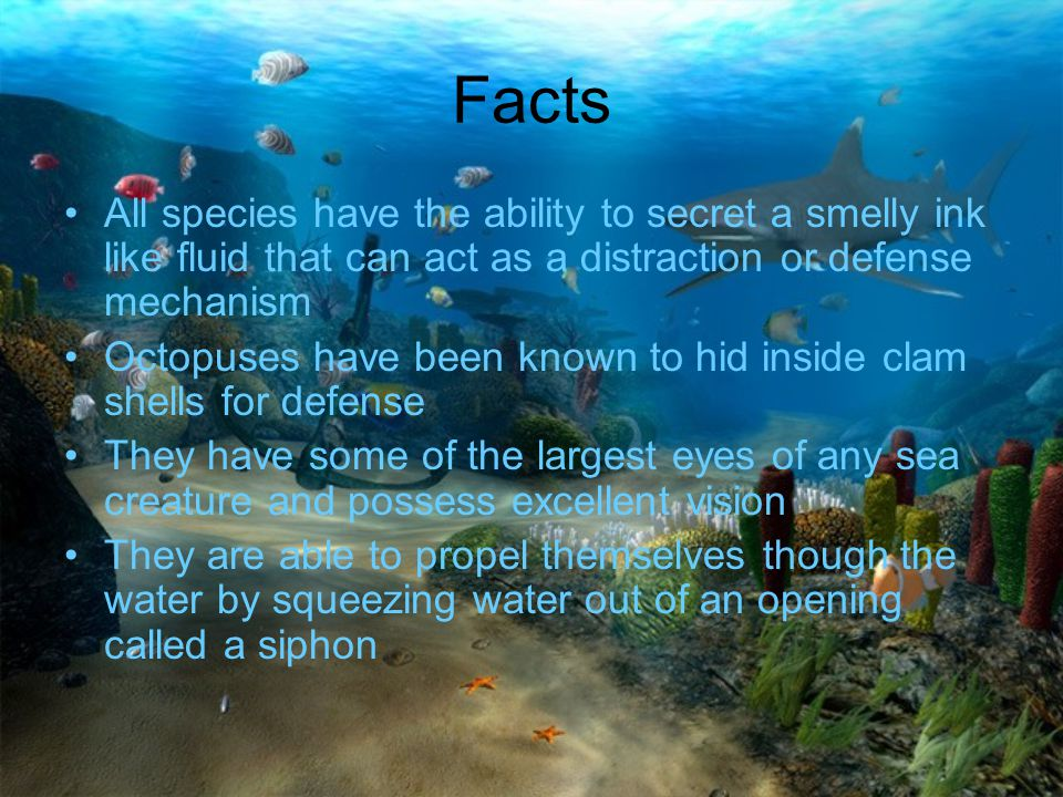 Facts All species have the ability to secret a smelly ink like fluid that can act as a distraction or defense mechanism.