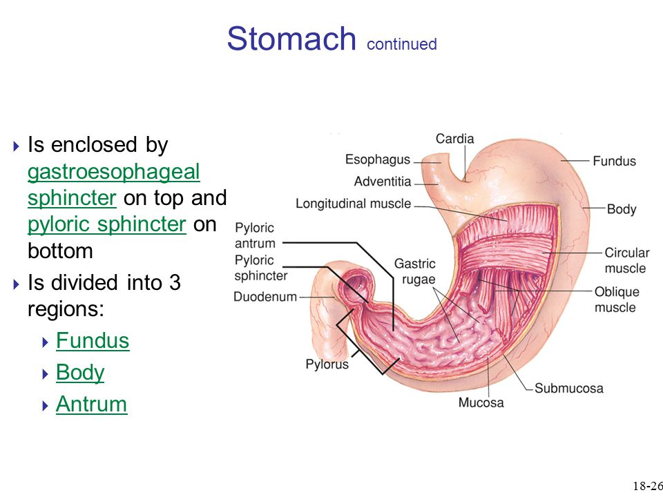Gastroesophageal Sphincter Chapter 18 Lecture Out...