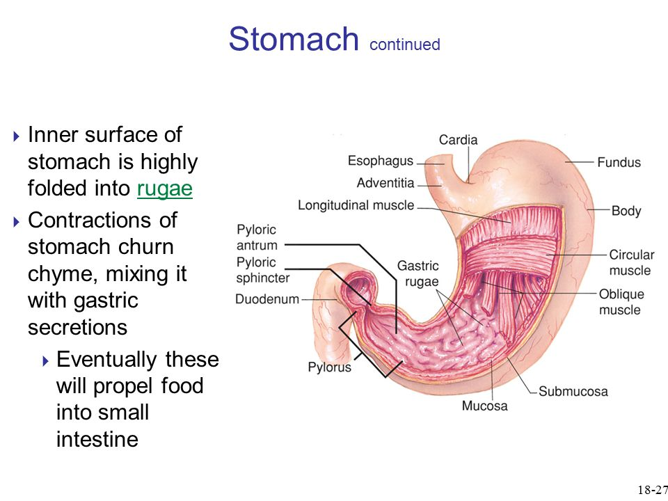 Stomach continued Inner surface of stomach is highly folded into rugae