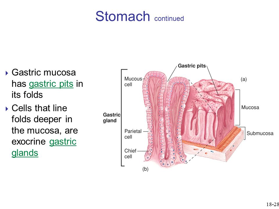 Stomach continued Gastric mucosa has gastric pits in its folds