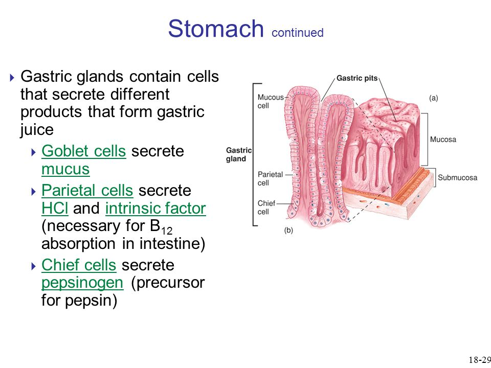 Stomach continued Gastric glands contain cells that secrete different products that form gastric juice.