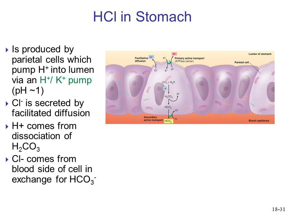 HCl in Stomach Is produced by parietal cells which pump H+ into lumen via an H+/ K+ pump (pH ~1) Cl- is secreted by facilitated diffusion.