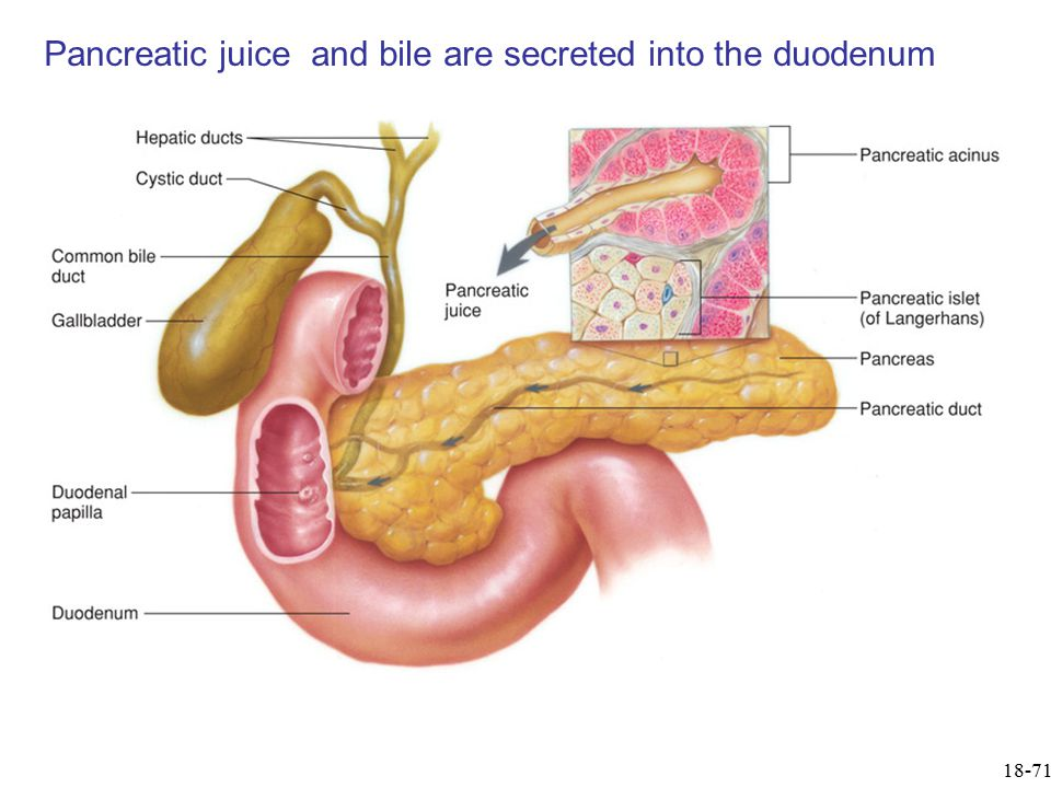 Pancreatic juice and bile are secreted into the duodenum