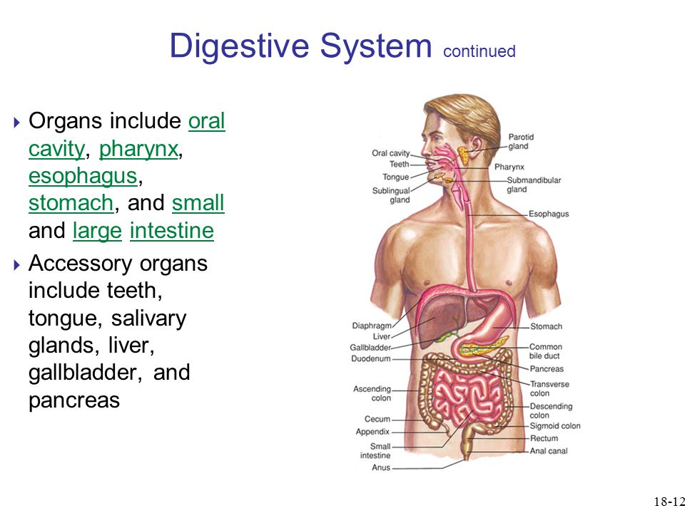 Digestive System continued